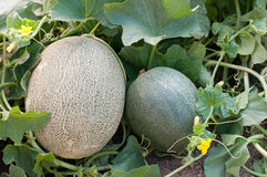 Melon in the garden Royalty Free Stock Photos
