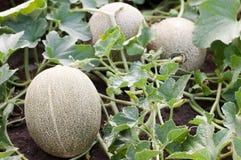 Melon in the garden. Melons in a vegetable garden- selective focus on the front  rmelon Stock Photo