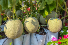 Melon in the garden Royalty Free Stock Images