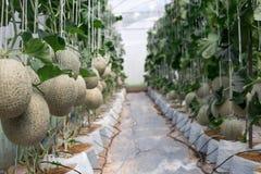 Melon Garden Royalty Free Stock Image