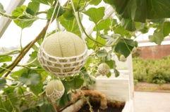 Melon in glasshouse B Stock Photo