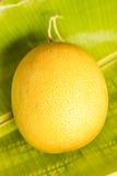 Melon gold Stock Image