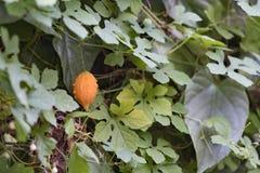 melon gorzki Obrazy Stock