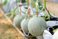Melon in green house farm Stock Photos