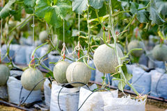 Melon in green house farm Stock Photography