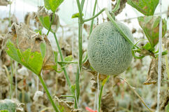 Melon in green house farm Stock Images