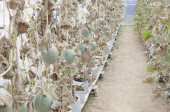 Melon in green house farm Royalty Free Stock Photography
