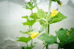 Melon in green house farm Stock Image