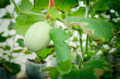 Melon in green house farm Stock Image