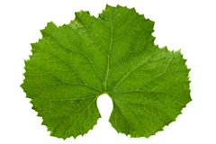 Melon green leaf on white Royalty Free Stock Image
