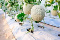 Melon in greenhouse. At farm Royalty Free Stock Photos
