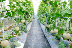 Melon in greenhouse. At farm Royalty Free Stock Photo