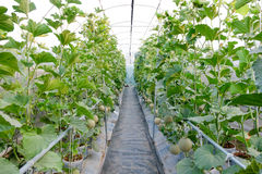 Melon in greenhouse. At farm Royalty Free Stock Images