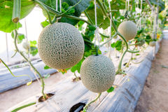 Melon in greenhouse. At farm Stock Photography