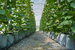 Melon in greenhouse. On field agriculture Stock Photo