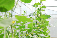 Melon in greenhouse. Plantation of melon in greenhouse Royalty Free Stock Images