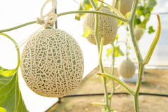 The melon in greenhouses royalty free stock photos