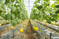 Melon growing in greenhouse farm Stock Photos