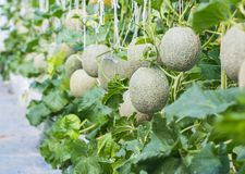 Melon growing in a greenhouse. In farm Thailand Stock Photos