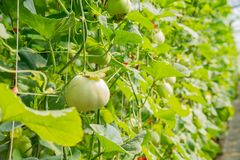 Melon growing in the greenhouse. At Yuanli Township, Taiwan Stock Image