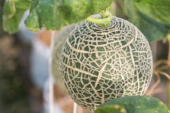 Melon grown in greenhouses. Melon planting grown in greenhouses Stock Photos