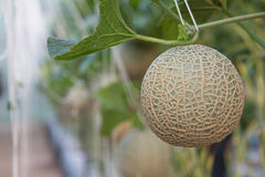 Melon grown in greenhouses. Melon planting grown in greenhouses Royalty Free Stock Images