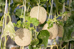 Melon grown in greenhouses Stock Photos