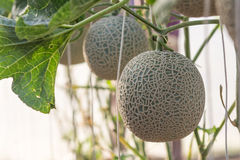 Melon grown in greenhouses. Melon planting grown in greenhouses Royalty Free Stock Photos