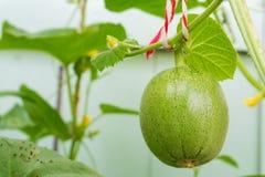 Melon i liść na drzewie Zdjęcie Royalty Free