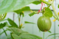 Melon i liść na drzewie Zdjęcia Stock