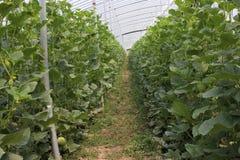 Melon i solljusväxthus Royaltyfri Bild