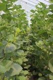Melon i solljusväxthus Arkivfoto