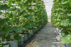 Melon i växthus Arkivfoton