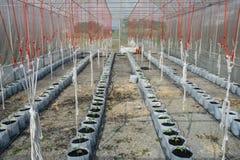 Melon i växthus Royaltyfria Foton