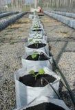 Melon i växthus Arkivfoto
