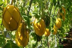 Melon jaune Photographie stock libre de droits