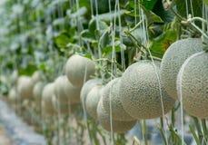 Melon lub kantalup w ogrodowej owoc obraz stock