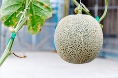 Melon mûr Photographie stock libre de droits