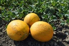 Melon mûr Photographie stock