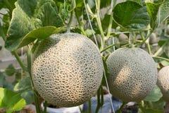 Melon organic produce from the farm. Stock Photography