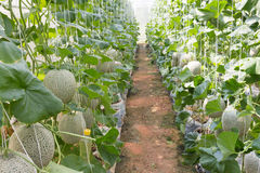 Melon organic produce from the farm. Melon organic produce from the farm Stock Photography