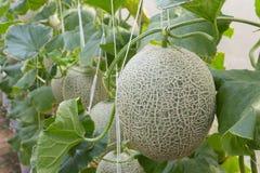 Melon organic produce from the farm. Melon organic produce from the farm Royalty Free Stock Image