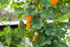 Melon ou momordica amer vert et jaune avec la feuille sur un buisson Image stock