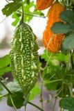 Melon ou momordica amer vert et jaune avec la feuille sur une fin de buisson  Photos libres de droits