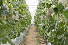 Melon peppers in a greenhouse. stock photos