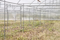 Melon peppers in a greenhouse. Royalty Free Stock Photos