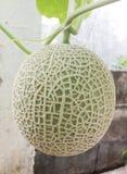 Melon. Pic of fresh net melon Stock Images