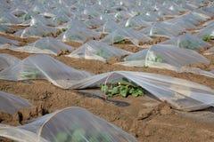 Melon plantant dans le domaine photographie stock libre de droits