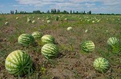 melon śródpolna woda Zdjęcia Stock