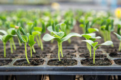 Melon seedling growing in black plastic tray Royalty Free Stock Photography